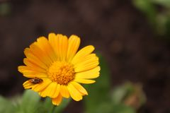 Macro fotografie Calendula Insect op een bloem stock fotografie