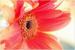 Macro foyer sur la fleur et les stamens Photographie stock libre de droits