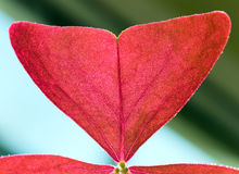 Macro - fragment of red window plant leaf Stock Photography