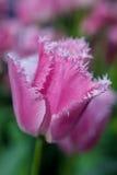 Macro franjado magenta da tulipa Foto de Stock Royalty Free