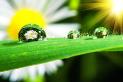 Macro of fresh grass with dew drop. Royalty Free Stock Image
