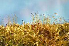 Macro. Fresh moss sprouts and blooms Stock Photos