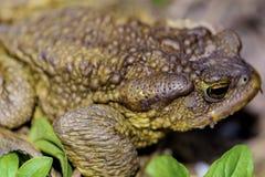 Macro frog Royalty Free Stock Photography