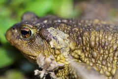 Macro frog Royalty Free Stock Images