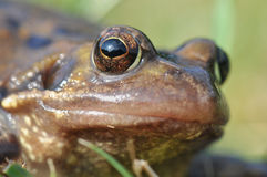 Macro frog eye Royalty Free Stock Photography