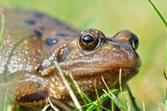 Macro frog Royalty Free Stock Photo