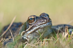 Macro frog Royalty Free Stock Photography