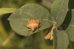 Macro Front view of Brown Stink Bug. royalty free stock photos