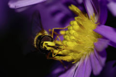Macro front view of Caucasian flower flies are hoverfly on alpin Royalty Free Stock Photography