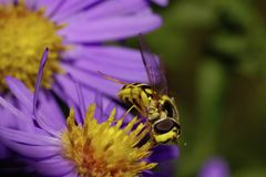 Macro front view of a large black and yellow striped hoverfly a Royalty Free Stock Images