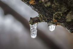 Macro Frozen Droplet on Tree Royalty Free Stock Image