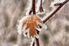 Macro of a Frozen Leaf. A macro of an autumn leaf frozen in place by hoar frost Stock Photos