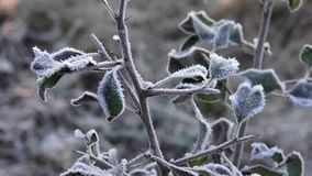Macro of frozen plant with rime. Beautiful natural plant part with ice crystals in winter in close up stock video