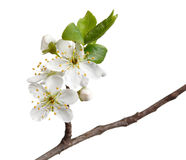 Macro of fruit-tree blossom isolated on white Royalty Free Stock Photos
