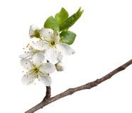 Macro of fruit-tree blossom isolated on white Royalty Free Stock Photos