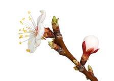 Macro of fruit-tree flower Stock Photos