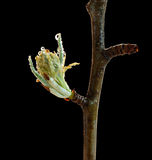 Macro of fruitier blossom bud Royalty Free Stock Photos