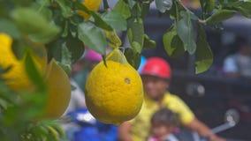 Macro frutta del pomelo nella rete sull'albero contro le siluette di guida stock footage