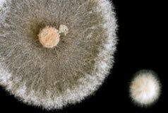 Macro of fungi on black background Royalty Free Stock Photos