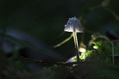 Macro fungus mushroom Royalty Free Stock Image