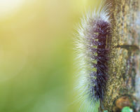 Macro furry caterpillar on tree and green blur background Royalty Free Stock Image