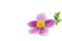 Macro of a garden anemone. Flower isolated on white stock photos
