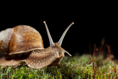 Macro of garden snail in moss Royalty Free Stock Photography