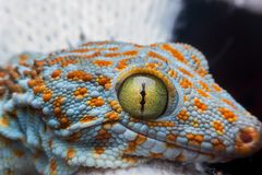 Eye of gecko. Macro gecko eye for detail, close up stock image