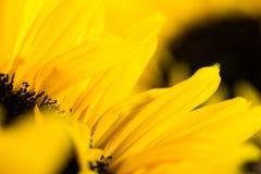 Macro gedetailleerde gele zonnebloembladeren Royalty-vrije Stock Fotografie