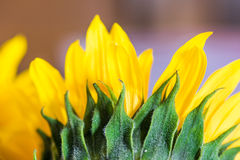 Macro gedetailleerde zonnebloemenbladeren Royalty-vrije Stock Foto's