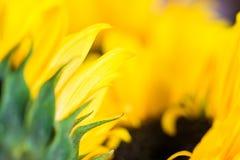 Macro gedetailleerde zonnebloemenbladeren en vage zaden Royalty-vrije Stock Afbeeldingen