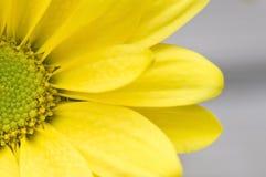 Macro geel madeliefje Stock Afbeeldingen