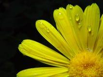 Macro Gele bloem zwarte achtergrond stock foto