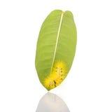 Macro gele bontrupsband op groen blad geschotene studio isolat Royalty-vrije Stock Fotografie