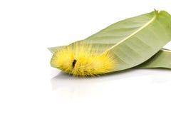 Macro gele bontrupsband op groen blad geschotene studio isolat Stock Foto