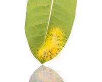 Macro gele bontrupsband op groen blad geschotene studio isolat Stock Fotografie