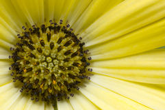 Macro Gele Daisy Stock Afbeeldingen