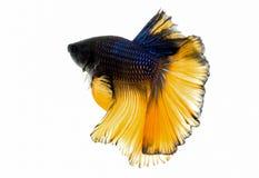 Macro gele en zwarte het vechten van Siam vissen Stock Fotografie