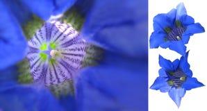 Macro gentiane bleue   Photographie stock