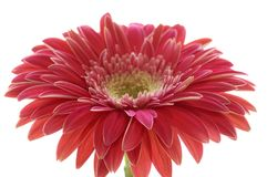Macro of a Gerber Daisy. Macro of a gerber daisy isolated against a white background stock images