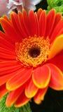 Macro Gerber Daisy royalty free stock image