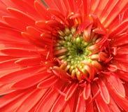 Macro of a gerbera flower Royalty Free Stock Photos