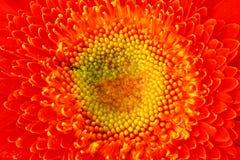 Macro  Gerbera Flower Capitulum Stock Images