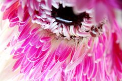 Macro of Gerbera flower wallpaper stock image