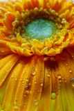 Macro of Gerbera flower wallpaper Stock Images