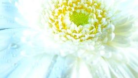 Macro of Gerbera flower wallpaper