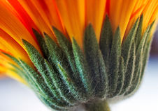 Macro of Gerbera underside  Stock Photo
