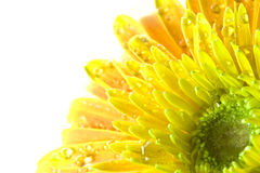 Macro gerbera yellow flowers. That are fresh on a white background Stock Photography