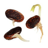 Macro germinating bean isolated Royalty Free Stock Photo
