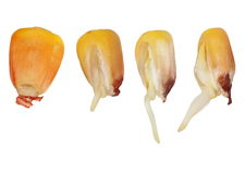 Macro germination of corn isolated Royalty Free Stock Photo
